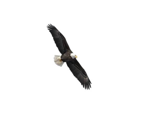 Photograph - Isolated Bald Eagle 2019-1 by Thomas Young