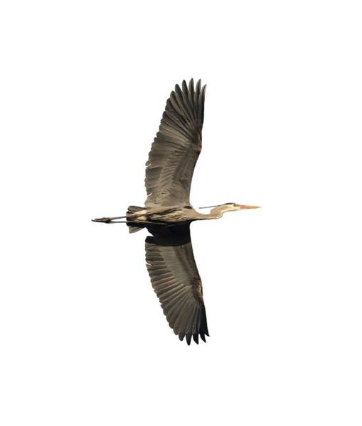 Wall Art - Photograph - Isolated Great Blue Heron 2018-1 by Thomas Young