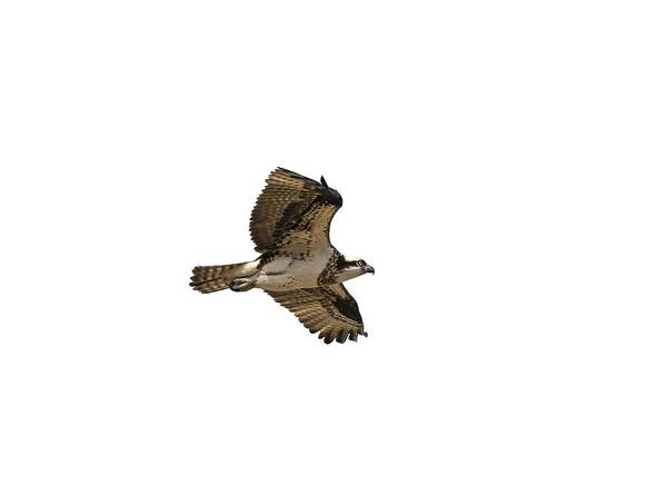 Photograph - Isolated Osprey 2019-1 by Thomas Young