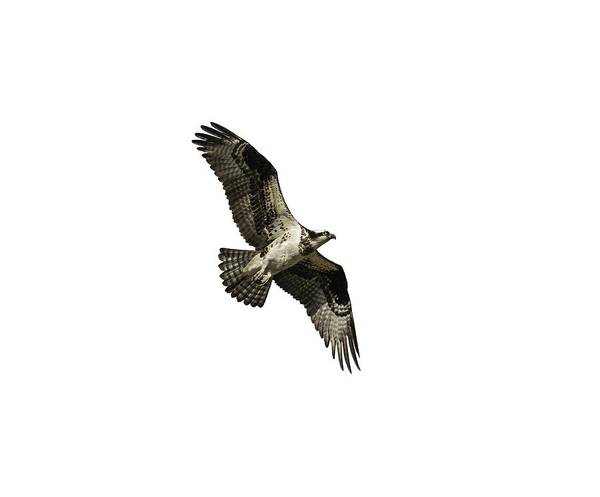 Photograph - Isolated Osprey 2019-2 by Thomas Young