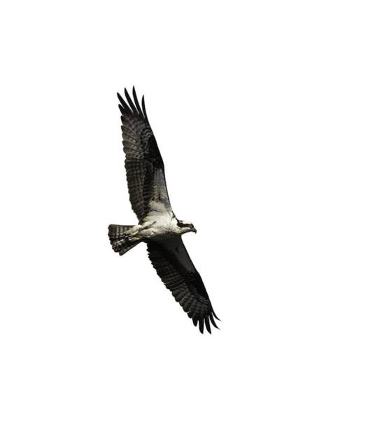 Photograph - Isolated Osprey 2019-3 by Thomas Young