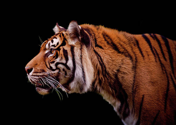 Mammal Photograph - Isolated Profile Of A Tiger by Photo By Steve Wilson