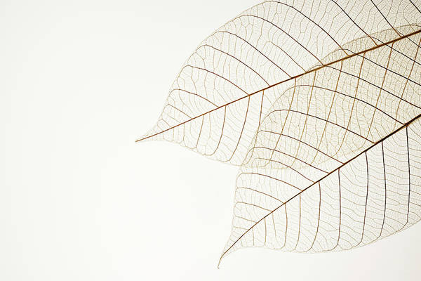 Fiber Photograph - Isolated Shot Of Two Leaf Veins On by Kyoshino