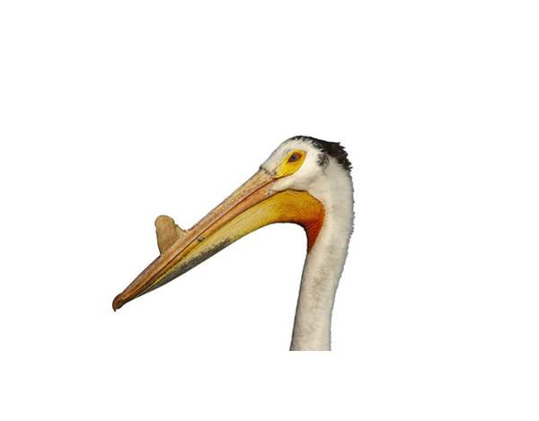 Photograph - Isolated White Pelican 2014-1 by Thomas Young