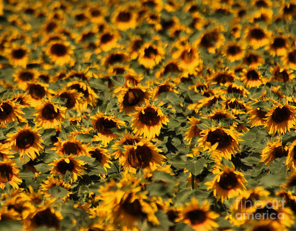 Wall Art - Photograph -  Crowded Group Of Sunflowers by Jeff Swan