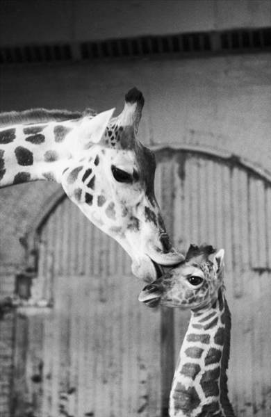 Cage Photograph - It Isnt Necking Its Mother Love..cleo by New York Daily News Archive