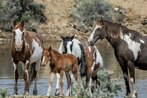 Photograph - It Takes A Band - South Steens Mustangs by Belinda Greb