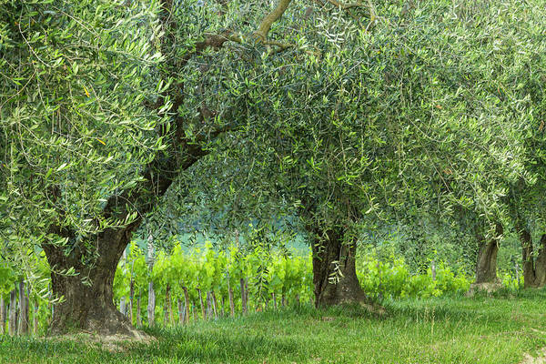 Wall Art - Photograph - Italy, Umbria Old Olive Trees Line by Brenda Tharp