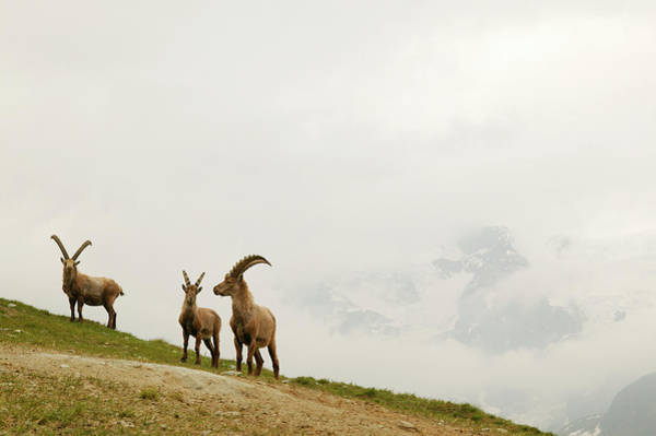 Ibex Wall Art - Photograph - Italy, Val Daosta, Gressoney by Maremagnum