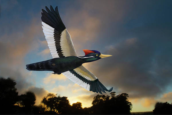 Photograph - Ivory-billed Woodpecker At Twilight by Mark Miller