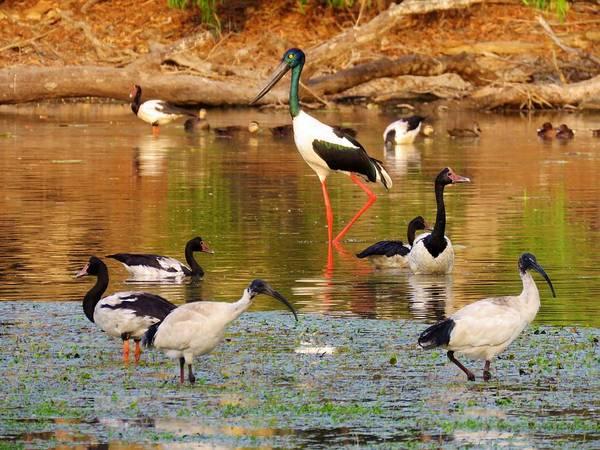 Photograph - Jabiru Magpie Geese Ibis Ducks by Joan Stratton
