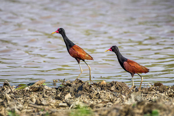 Photograph - Jacanas Hato Berlin Casanare Colombia by Adam Rainoff