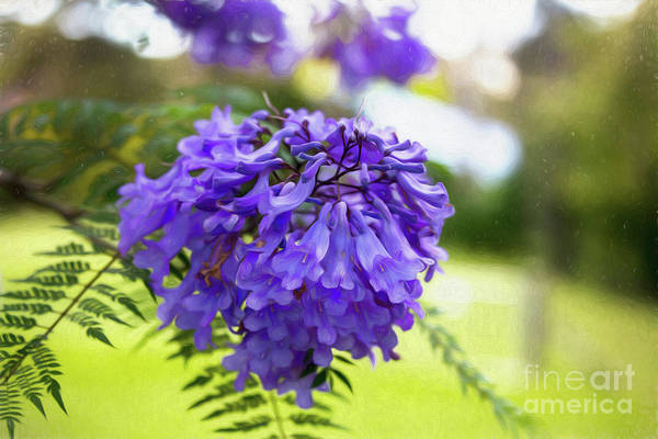 Wall Art - Photograph - Jacaranda  by Sheila Smart Fine Art Photography