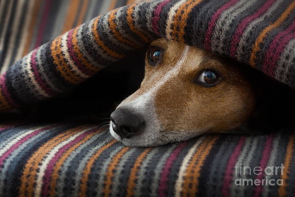 Sick Wall Art - Photograph - Jack Russell Dog  Sleeping Under The by Javier Brosch