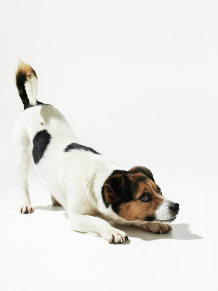 Dog Photograph - Jack Russell by Michael Blann
