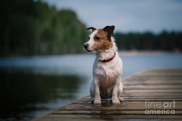 Canine Wall Art - Photograph - Jack Russell Terrier Dog Playing In by Dezy