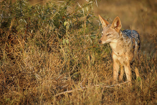 Back In The Day Photograph - Jackal In The Early Morning Light by Emil Von Maltitz