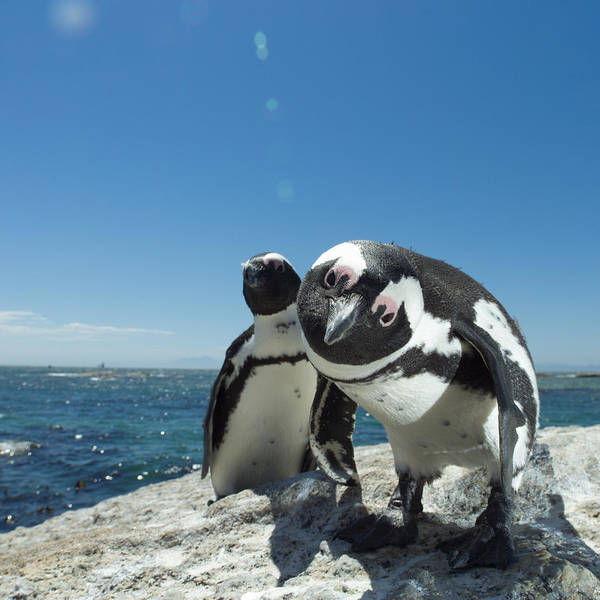 Wall Art - Photograph - Jackass Penguins Spheniscus Demersus On by Sunny