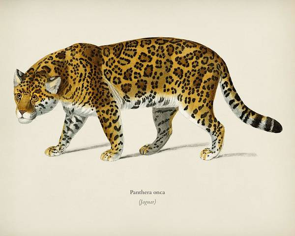 African Penguin Painting - Jaguar  Panthera Onca  Illustrated By Charles Dessalines D' Orbigny  1806-1876  by Celestial Images