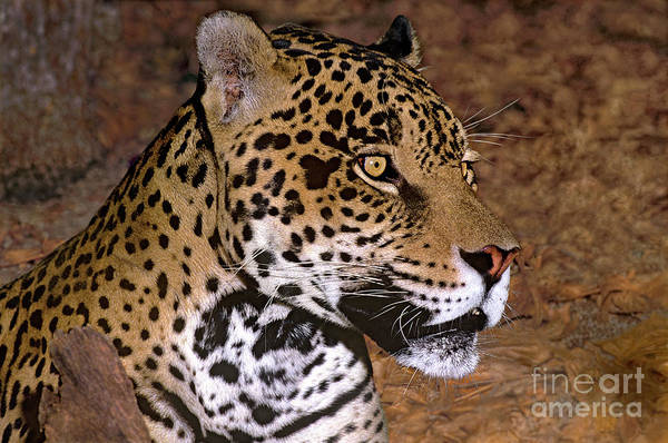 Photograph - Jaguar Panthera Onca Wildlife Rescue by Dave Welling