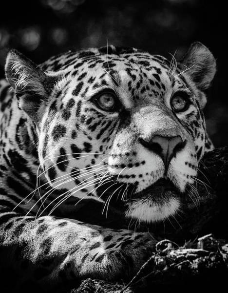 Photograph - Jaguar by Tazi Brown