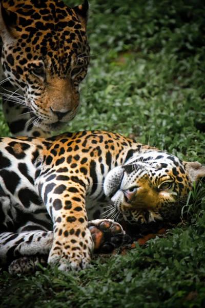 Chiang Mai Province Photograph - Jaguars Playing At Chiang Mai Zoo by Ed Norton