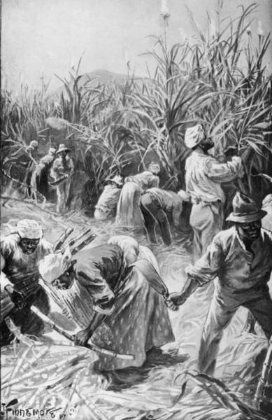 Printmaking Photograph - Jamaican Cane Cutters by Hulton Archive