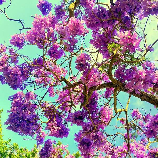 Photograph - Jane's Jacaranda Tree by VIVA Anderson