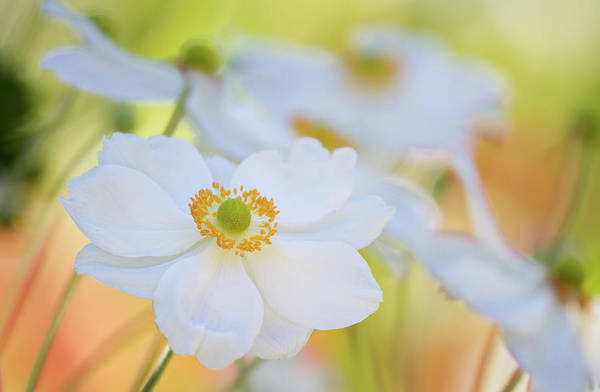 Coral Photograph - Japanese Anemones by Carmen Brown Photography