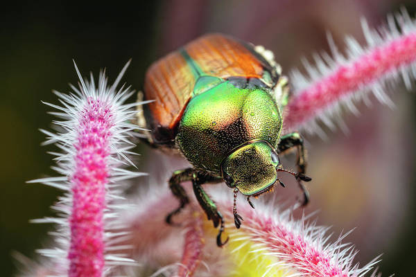 Photograph - Japanese Beetle 2 by Brian Hale