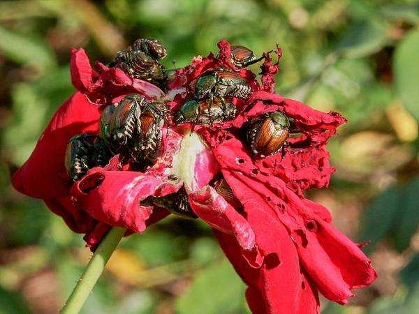 Photograph - Japanese Beetle Orgy by Don Northup