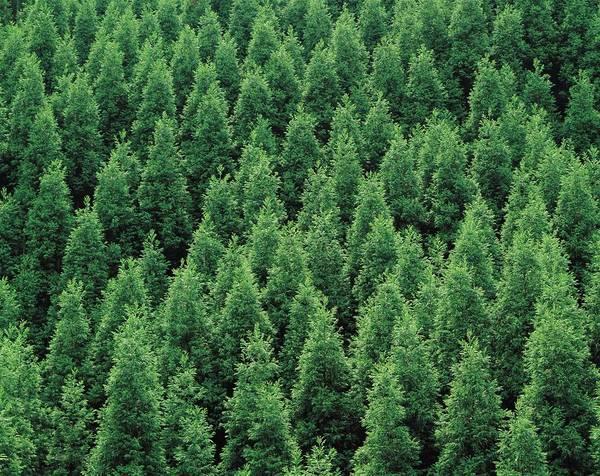 Cedar Tree Photograph - Japanese Cedar, Kyoto Prefecture, Japan by Daj