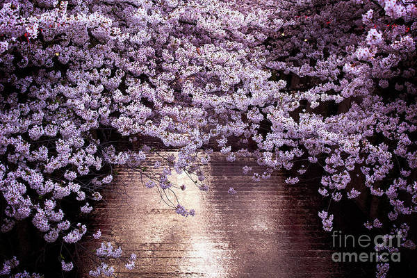 Wall Art - Photograph - Japanese Cherry Prunus Serrulata by ?? .