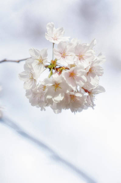 Rockville Photograph - Japanese Cherry Tree Blossom Cluster by Maria Mosolova