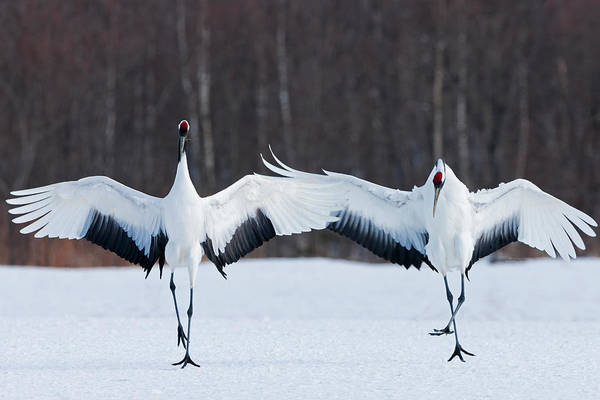 Japanese Cranes Standing Upright Art Print by Mint Images - Art Wolfe