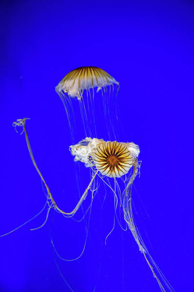 Photograph - Japanese Jellyfish by Kenny Thomas