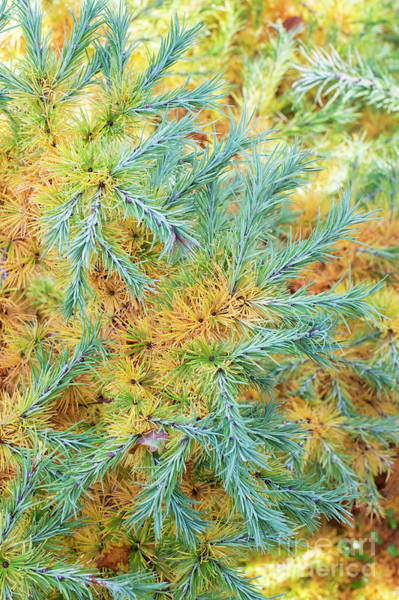 Wall Art - Photograph - Japanese Larch Blue Dwarf Foliage In Autumn by Tim Gainey