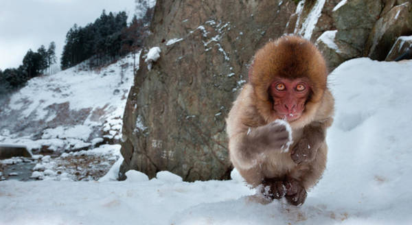 Vertebrate Photograph - Japanese Macaque, Honshu Island, Japan by Mint Images/ Art Wolfe