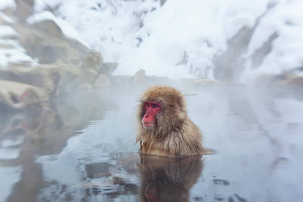 Snow Monkey Photograph - Japanese Macaque Or Snow Monkey, Japan by Peter Adams