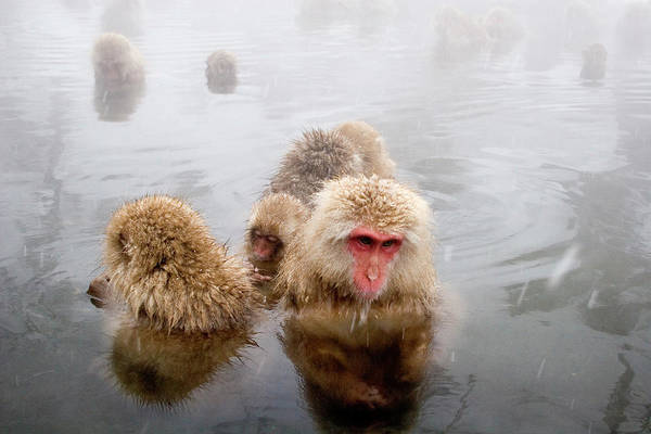Snow Monkey Photograph - Japanese Macaque Snow Monkeys In by John Borthwick