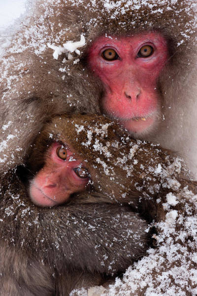 Snow Monkey Photograph - Japanese Macaques, Honshu Island, Japan by Mint Images/ Art Wolfe