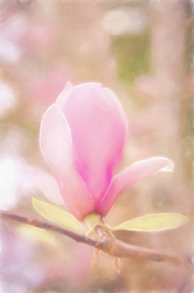 Photograph - Japanese Magnolia #floral by Andrea Anderegg