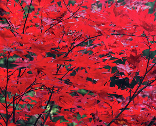 Photograph - Japanese Maple In The Fall by Trina Ansel