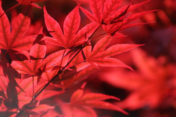 Photograph - Japanese Maple Leaves In Sangria Red by Colleen Cornelius
