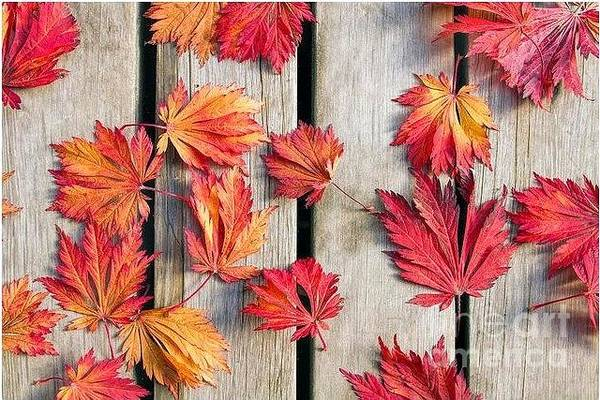 Tracy Hall Wall Art - Photograph - Japanese Maples by Tracy Hall