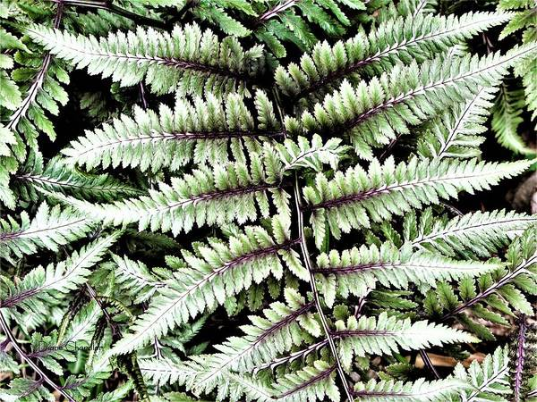 Photograph - Japanese Painted Fern by Diane Chandler