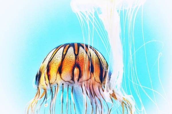 Photograph - Japanese Sea Nettles Jellyfish #2 by Marianna Mills
