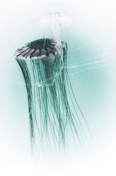 Photograph - Japanese Sea Nettles Jellyfish by Marianna Mills