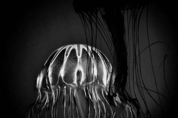 Photograph - Japanese Sea Nettles Jellyfish - Noir by Marianna Mills