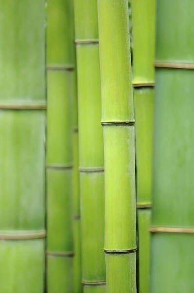 Bamboo Photograph - Japanese Timber Bamboo Phyllostachys by Cora Niele